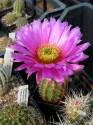 ♣ 100 semen Kaktus Echinocereus baileyi SB 211  Zvýhodněná nabídka