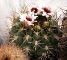 ♣ 100 semen Kaktus Gymnocalycium zegarrae  Zvýhodněná nabídka