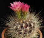 ♣ 100 semen Kaktus Neoporteria subgibbosa  Zvýhodněná nabídka