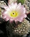 ♣ 100 semen Kaktus Notocactus rutilans  Zvýhodněná nabídka