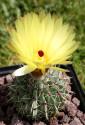♣ 100 semen Kaktus Parodia buiningii  Zvýhodněná nabídka