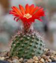 ♣ 100 semen Kaktus Parodia catamarcensis  Zvýhodněná nabídka