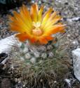 ♣ 100 semen Kaktus Parodia faustiana  Zvýhodněná nabídka