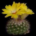 ♣ 100 semen Kaktus Parodia mutabilis  Zvýhodněná nabídka