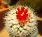 ♣ 100 semen Kaktus Parodia nivosa  Zvýhodněná nabídka
