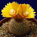 ♣ 100 semen Kaktus Parodia scopaoides  Zvýhodněná nabídka