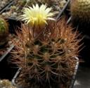 ♣ 100 semen Kaktus Pyrrhocactus bulbocalyx LF 34  Zvýhodněná nabídka