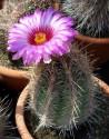 ♣ 100 semen Kaktus Thelocactus bicolor RCH 292  Zvýhodněná nabídka