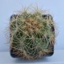 ♣ 100 semen Kaktus Thelocactus bicolor SB 287  Zvýhodněná nabídka