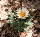 ♣ 100 semen Kaktus Thelocactus nidulans  Zvýhodněná nabídka