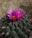 ♣ 100 semen Kaktus Thelocactus tulensis f. HK 362  Zvýhodněná nabídka