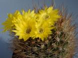 ♣ 100 semen Kaktus Weingartia lecoriensis  Zvýhodněná nabídka