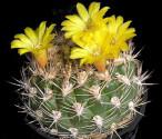 ♣ 100 semen Kaktus Weingartia riograndensis ZJ Millares  Zvýhodněná nabídka