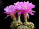 ♣ 100 semen Kaktus Echinopsis rojasii KK 996  Zvýhodněná nabídka