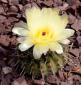 ♣ 100 semen Kaktus Notocactus mammulosus var. rubrispinus PR 82  Zvýhodněná nabídka