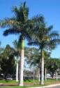 """♣ 20 x naklíčená semena Roystonea regia """"královská palma"""" - zvýhodněná nabídka"""