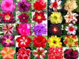 ♣♣ 100 semen Adenium Obesum - mix barev  Zvýhodněná nabídka