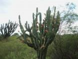 Kaktus Cereus Forbesii Balení obsahuje 10 semen