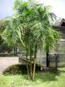 ♣ 10 x naklíčená semena Palma Dypsis baronii  Zvýhodněná nabídka