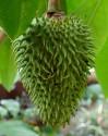 1 x naklíčená semena Anonna muricata - Anona ostnitá