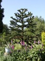 ♣ 50 x naklíčená semena Araucaria Araucana Zvýhodněná nabídka