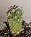 ♣ 100 semen Kaktus Echinofossulocactus sp. Ixmiquilpan CH 427  Zvýhodněná nabídka
