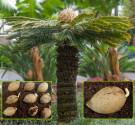 ♣ 50 x naklíčená semena Cycas Revoluta - Cycas Japonský Zvýhodněná nabídka