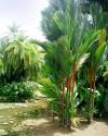 1 x naklíčená semena Palma Cyrtostachys renda