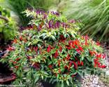 ♣ 150 x semena Chilli Sangria Ornamental Zvýhodněná nabídka