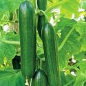 """♣ 100 x semena Okurka salátová """"hadovka"""" Beth Alpha F1 Zvýhodněná nabídka"""