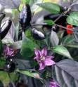 ♣ 100 x semena Chilli Royal Black Zvýhodněná nabídka