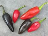 ♣ 100 x semena Chilli Jalapeňo Purple Zvýhodněná nabídka