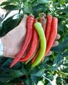 ♣ 150 x semena Paprika kozí roh Beros Zvýhodněná nabídka