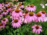 ♣ 200 x semena Echinacea Purpurea - Třapatka nachová Zvýhodněná nabídka