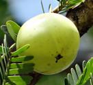 ♣ 100 x semena Phyllanthus Emblica - Angrešt indický Zvýhodněná nabídka