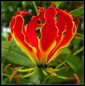 ♣ 30 x semena Gloriosa Superba – Glorióza vznešená Zvýhodněná nabídka
