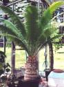 ♣ 10 x semena Cycas Dioon Spinulosum Zvýhodněná nabídka