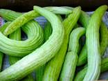 ♣ 100 x semena Arménská okurka Tortarello Verde Barese Zvýhodněná nabídka