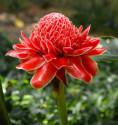 ♣ 80 x semena Etlingera elatior Red – zázvor okrasný červený Zvýhodněná nabídka