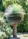 ♣ 80 x semena Trávový strom Xanthorrhoea preissii Zvýhodněná nabídka