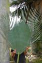 1 x naklíčené semeno Palma Copernicia gigas