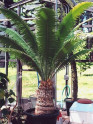♣ 5 x naklíčené semeno Cycas Dioon Spinulosum Zvýhodněná nabídka