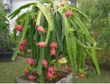 ♣ 100 x semena Kaktus Hylocereus undatus Zvýhodněná nabídka