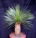♣ 100 x semeno Dasylirion wheeleri Zvýhodněná nabídka