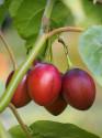 ♣ 100 x semeno Cyphomandra betacea - Lilek rajčenka Zvýhodněná nabídka