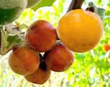 ♣ 100 x semeno Solanum sessiliflorum - Kokona Zvýhodněná nabídka