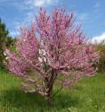 ♣ 50 x semeno Cercis siliquastrum - zmarlika Jidášova Zvýhodněná nabídka