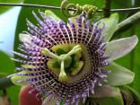 Passiflora ligularis - Mučenka jazykovitá Balení obsahuje 5 semen