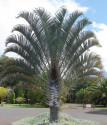 Sazenice Palma Dypsis decaryi - první list