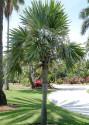 2 x naklíčené semeno Palma Leucothrinax morrisii